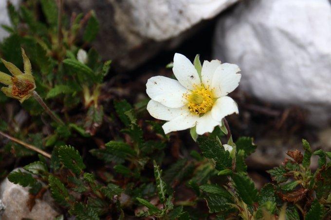Dryas octopetala - Camedrio Alpino - morena ghiacciaio Travignolo