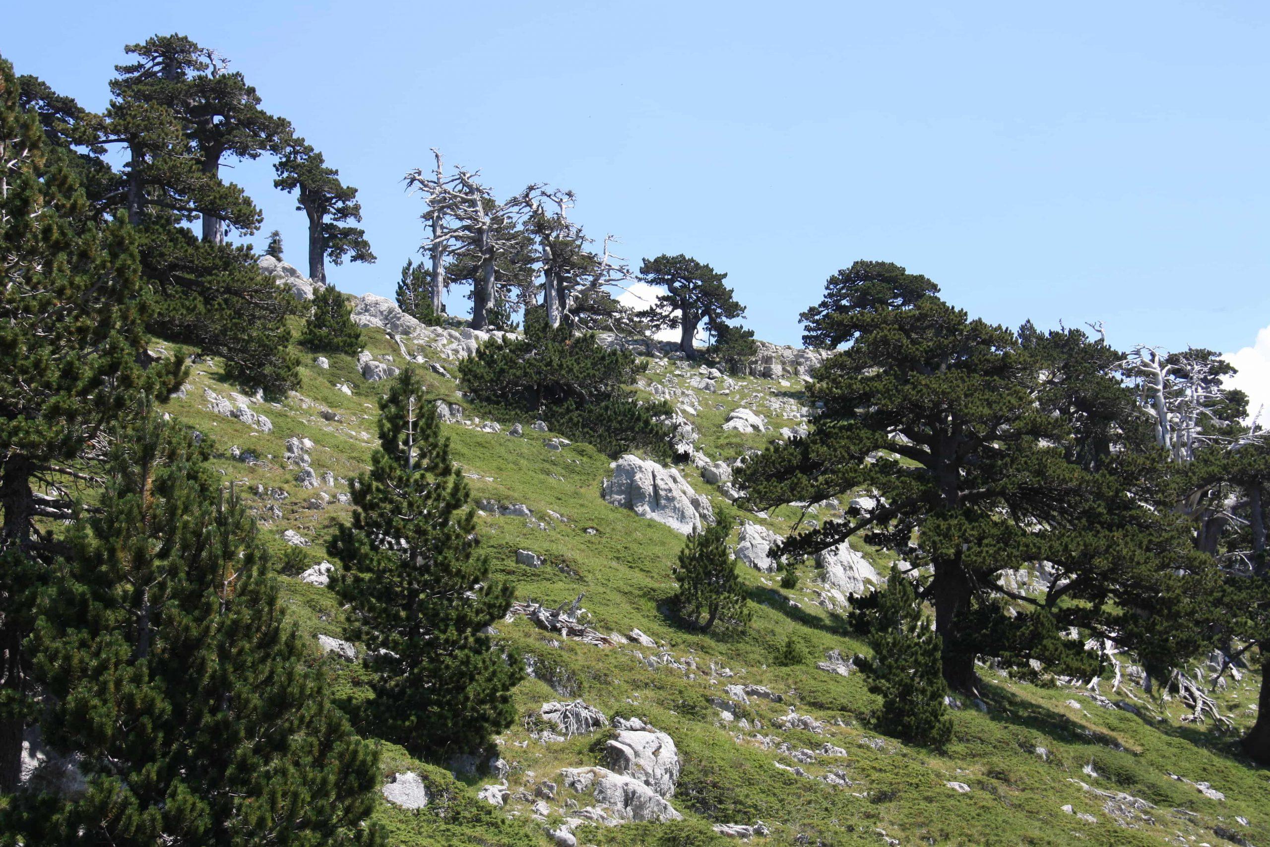Pino Loricato - Serra di Crispo - Pollino - Giardino degli Dei