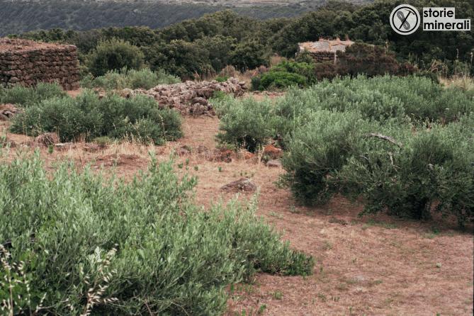 ulivi - pantelleria - agricoltura